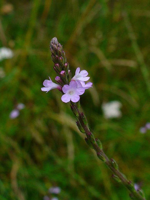 Verbena officinalis ©H. Zell WikiMediaCommons
