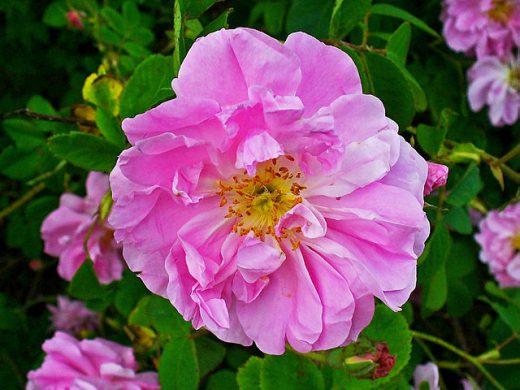 Rosa damascena © H. Zell WikiMediaCommons